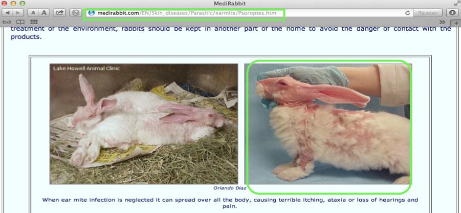 Sul sito di una clinica veterinaria troviamo però la stessa foto. E qui rappresenta un coniglio con un'infezione da Soroptes Cuniculi (Scabbia del coniglio).