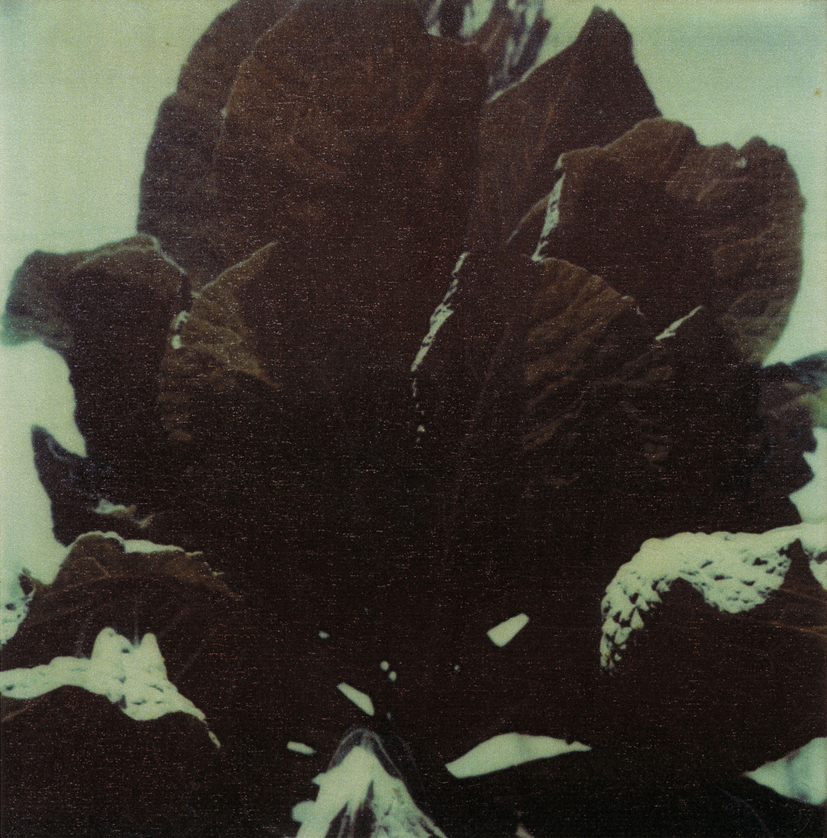 CY TWOMBLY - cabbage, Gaeta 1997