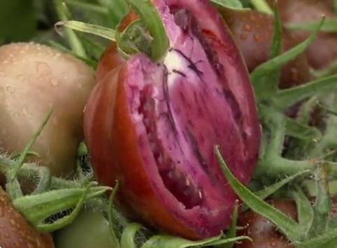 pomodoro-viola-2