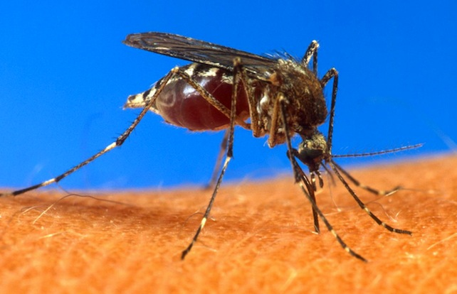 zanzara-mosquito