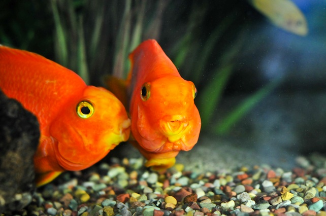 pesci-rossi-amore