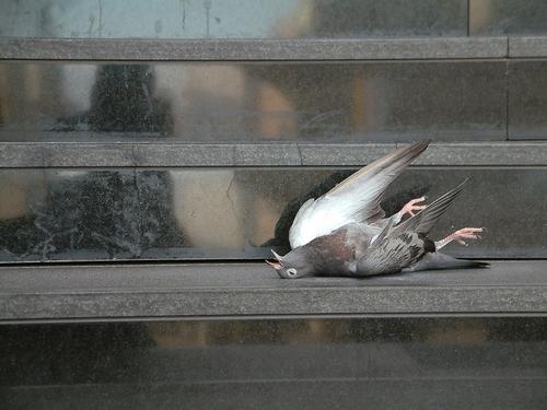 piccione-shutterstock_77405