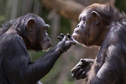scimmia-sh-222261088