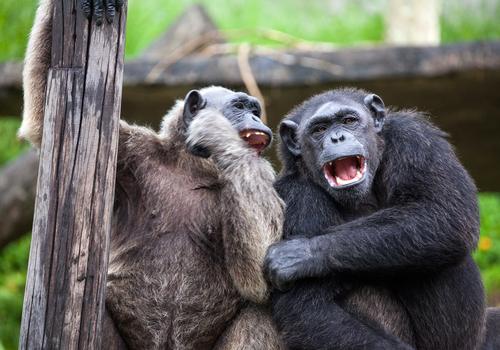 scimpanze-shutterstock_223179226
