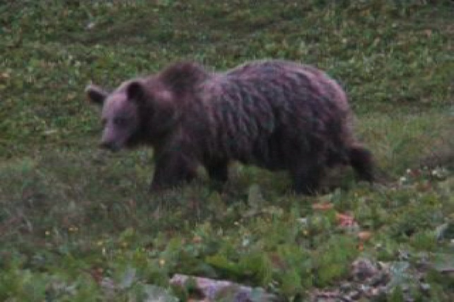 orso-trentino-ansa