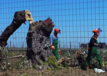 Workers cut down olive trees affected by the Xylella bacterium in Oria (Brindisi), in Puglia region, Italy, 13 April 2015. Italy on Monday chopped down the first olive tree affected by the Xylella bacterium in Puglia, where an epidemic has prompted France to declare an embargo on Puglia products at risk of infection from the deadly pathogen. The tree was cut down in an area far from environmental activists who had so far prevented any felling. ANSA/ MAX FRIGIONE