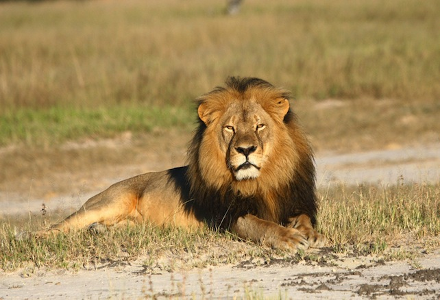 In this undated photo provided by the Wildlife Conservation Research Unit, Cecil the lion rests in Hwange National Park, in Hwange, Zimbabwe. Two Zimbabweans arrested for illegally hunting a lion appeared in court Wednesday, July 29, 2015. The head of Zimbabweís safari association said the killing was unethical and that it couldnít even be classified as a hunt, since the lion killed by an American dentist was lured into the kill zone. (Andy Loveridge/Wildlife Conservation Research Unit via AP)