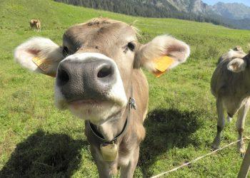 Mucche al pascolo nei pressi di Sappada (Belluno), in una immagine del 26 agosto 2011. ANSA/GABRIELE DE RENZIS