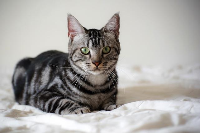 gatto-shutterstock_370608134