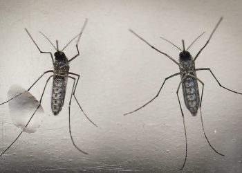 epa05163158 A photo made available 15 February 2016 dated shows a mosquito 'Aedes aegypti', that transmit the Zika virus, in a laboratory in San Salvador, El Salvador, on 07 February 2016. The Salvadorean Ministry of Tourism announced on 15 February 2016 the implementation of an action plan to protect tourists of the mosquito and the certification of the touristic zones frequently visited.  EPA/OSCAR RIVERA