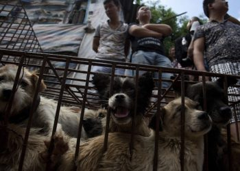 epa04813619 A picture made available 22 June 2015 shows a cage of dogs to be sold in a market in Yulin in south China's Guangxi Zhuang Autonomous Region, 21 June 2015, one day ahead of the summer solstice, the peak time of the local dog meat consumption known as the Dog Meat Festival.  EPA/STR CHINA OUT