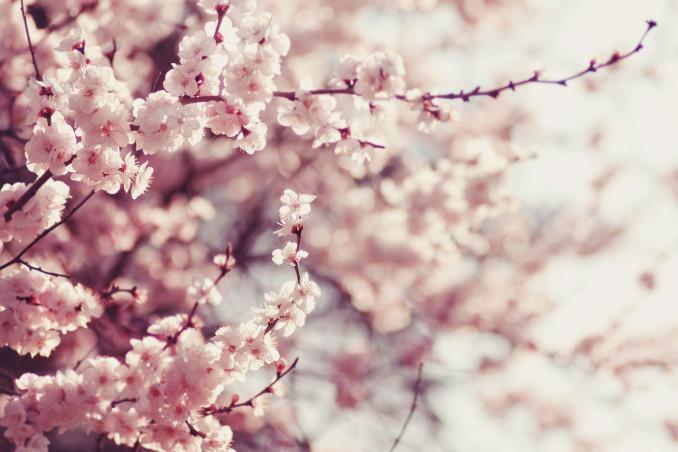 Rami di ciliegio in fiore