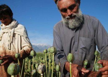 Un contadino estrae l'oppio in Afghanistan per i talebani