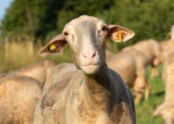 Marilyn, una delle pecore toscane che si possono adottare con FattorMia