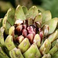 Il carciofo è un fiore